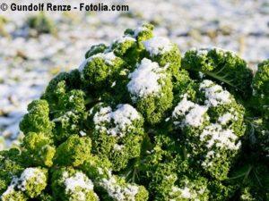 Grünkohl verträgt Eis und Kälte gut
