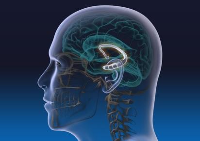 Illustration des limbischen Systems im menschlichen Gehirn