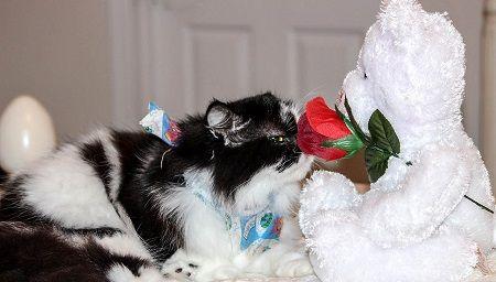 Katze riecht an einer Rose