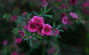 Blüten der Manuka Pflanze