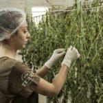 CBD Boom in Deutschland, rauschfreie Cannabisprodukte werden immer beliebter