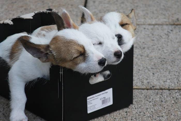 Drei Hundewelpen liegen in einer Obstkiste