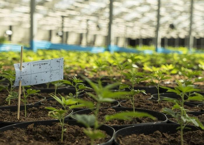 Hanfpflanzen im Gewächshaus