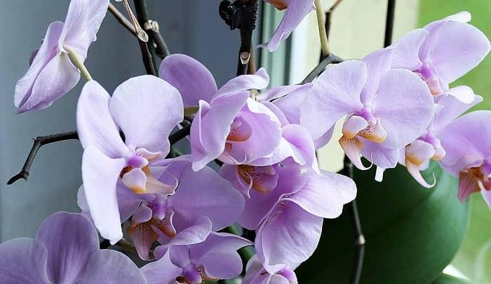 Eine fliederfarbene, blühende Orchidee auf einer Fensterbank
