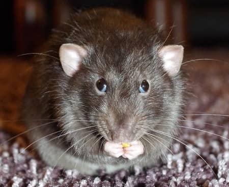 Ratte sitzt auf dem Teppich und frisst etwas