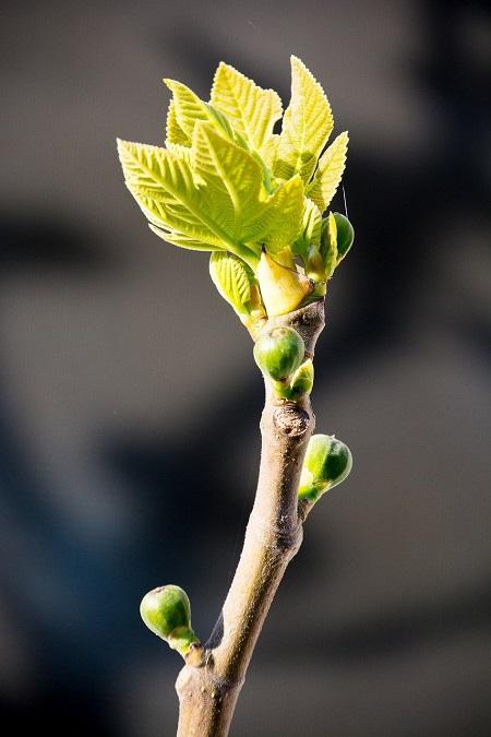 Feige-Knospe-Frühling