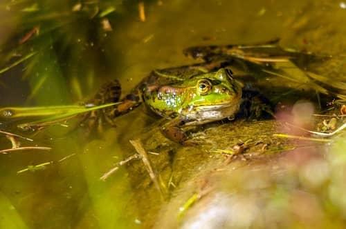 Ein schöner grüngemusterter Frosch sitzt im seichten Wasser